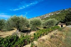 橄榄色普罗旺斯结构树 库存照片