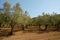 橄榄色果树园结构树 免版税库存图片