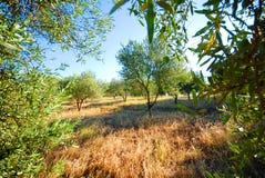 橄榄色果树园结构树 库存照片