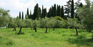 橄榄色果树园结构树 免版税图库摄影