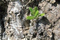 橄榄色爆发结构树 免版税库存图片