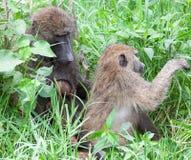 橄榄色狒狒修饰 免版税库存图片