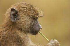 橄榄色狒狒 库存照片