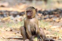 橄榄色狒狒 库存图片