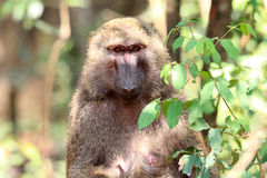 橄榄色狒狒 免版税库存照片