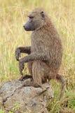 橄榄色狒狒 免版税图库摄影