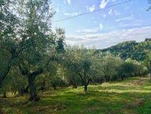 橄榄色的农场在意大利托斯卡纳 图库摄影