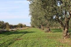 橄榄色的庭院 库存照片