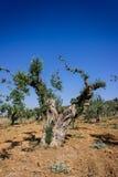 橄榄色的庭院 库存图片