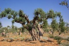 橄榄色的庭院 免版税库存图片