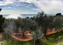 橄榄色的收获 图库摄影