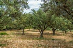 橄榄色的森林在扎金索斯州,爱奥尼亚人海岛 免版税库存照片