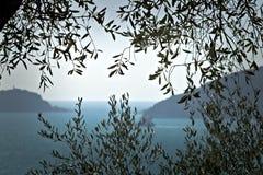 橄榄色的植物在与利古里亚海的背景中 在拉斯佩齐亚海湾拍摄的橄榄色的叶子有背景  库存图片