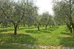 橄榄色的植物 图库摄影