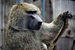 橄榄色的狒狒在青岛栖所,中国 库存照片