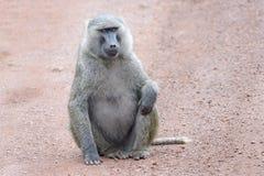 橄榄色的狒狒坐地面 图库摄影
