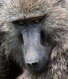 橄榄色的狒狒面孔特写镜头  免版税库存照片