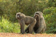 橄榄色的狒狒, Groene Baviaan,狒狒anubis 图库摄影