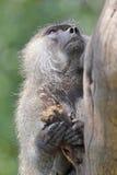 橄榄色的狒狒画象在树的 库存图片