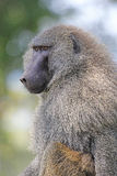 橄榄色的狒狒画象  免版税库存照片