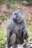 橄榄色的狒狒画象  免版税库存图片