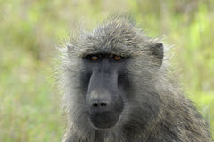 橄榄色的狒狒 库存图片
