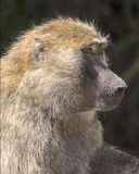 橄榄色的狒狒 免版税库存照片