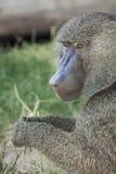 橄榄色的狒狒 免版税图库摄影