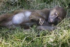 橄榄色的狒狒 免版税库存图片