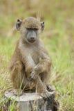 橄榄色的狒狒Cub 免版税库存照片
