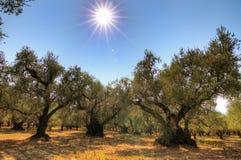 橄榄色的围场 库存图片