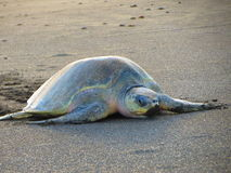 橄榄色的Ridley海龟哥斯达黎加 图库摄影