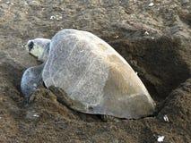 橄榄色的Ridley海龟肋前缘 免版税图库摄影