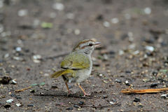 橄榄色麻雀 库存照片