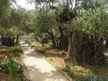 橄榄色Gethsemane 免版税库存照片