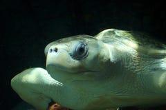 橄榄色ridley海龟 免版税图库摄影