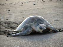 橄榄色ridley海龟 库存图片