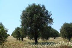 橄榄荡桨结构树 免版税库存照片