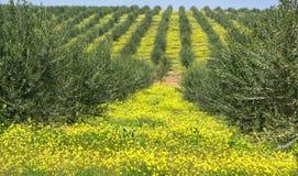 橄榄葡萄牙结构树 图库摄影