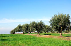 橄榄葡萄牙结构树 库存照片