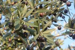 橄榄,褶皱藻属, SUD意大利 免版税库存照片