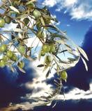 橄榄 库存图片