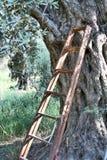 橄榄 免版税图库摄影