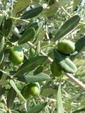 橄榄 库存照片