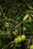 橄榄12 免版税库存图片