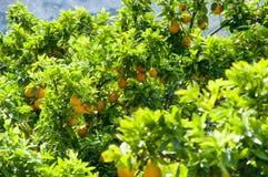 橘园 免版税库存图片