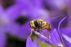 橘子果酱Hoverfly Episyrphus balteatus 库存照片