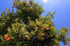 橘树在希腊 免版税库存图片