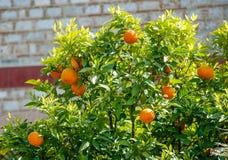 橘树用果子 库存图片