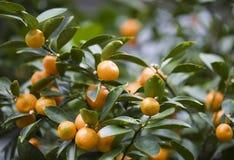 橘树 免版税图库摄影